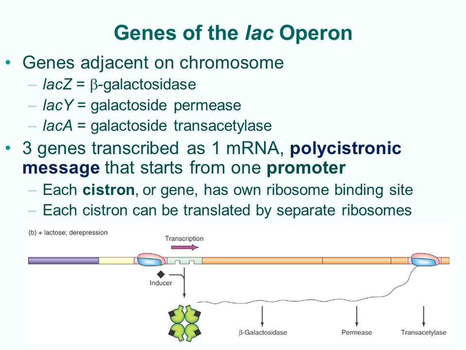 Genes of the lac Operon Genes adjacent on chromosome