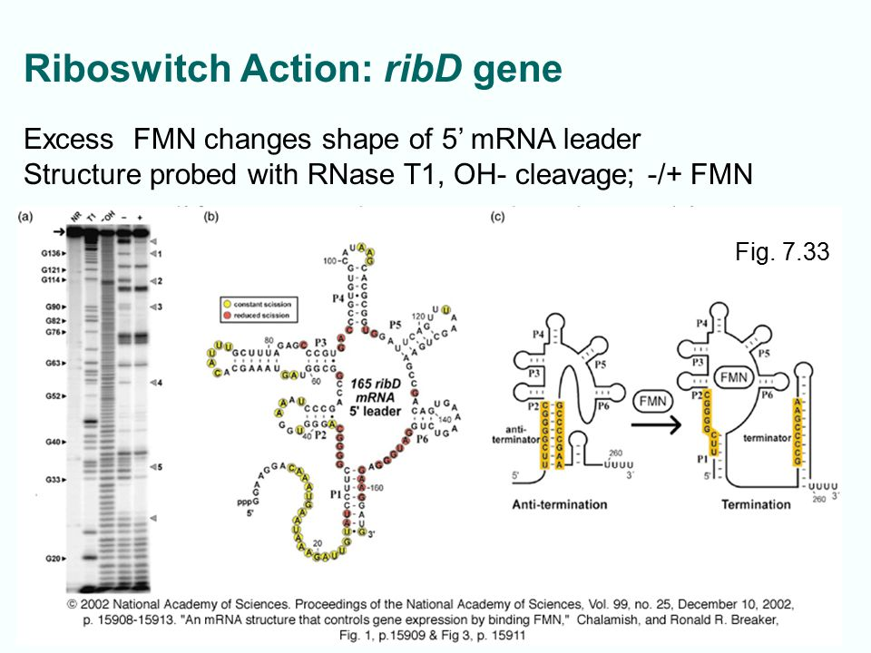 Riboswitch Action: ribD gene