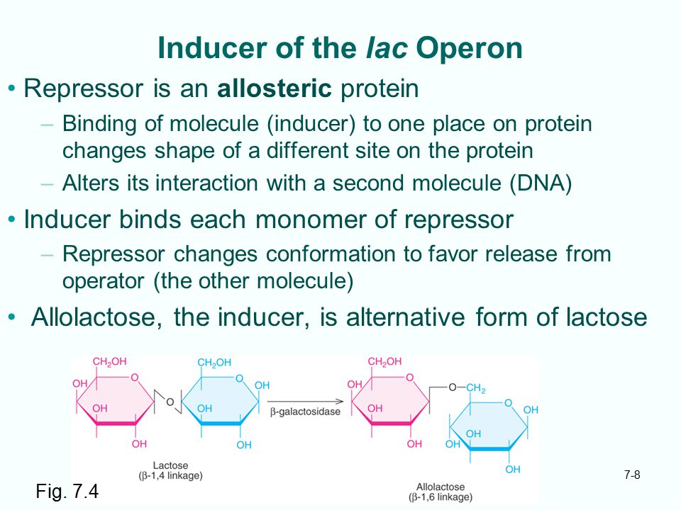 Inducer of the lac Operon
