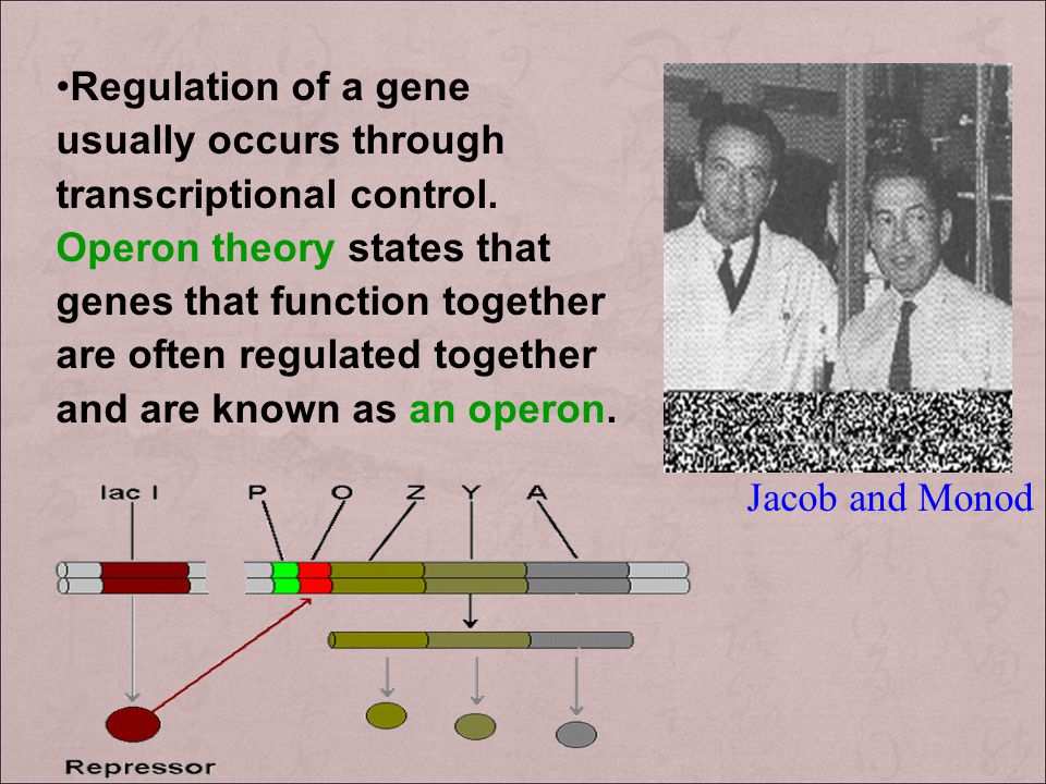 Regulation of a gene usually occurs through transcriptional control