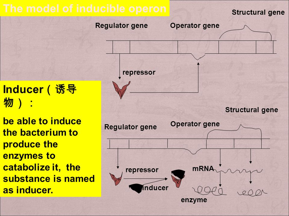 The model of inducible operon