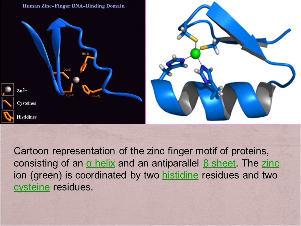 Cartoon representation of the zinc finger motif of proteins, consisting of an α helix and an antiparallel β sheet.