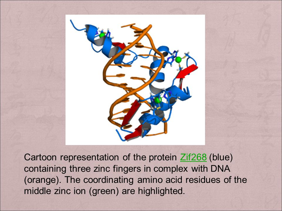 Cartoon representation of the protein Zif268 (blue) containing three zinc fingers in complex with DNA (orange).