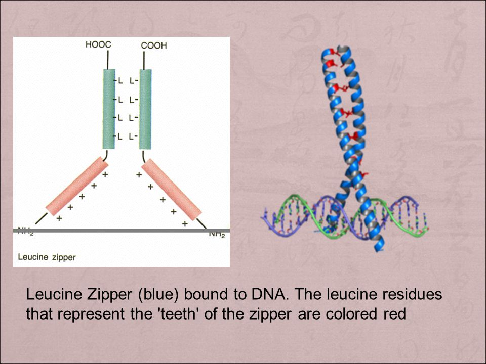Leucine Zipper (blue) bound to DNA