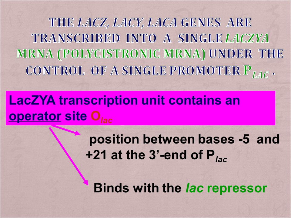The lacZ, lacY, lacA genes are transcribed into a single lacZYA mRNA (polycistronic mRNA) under the control of a single promoter Plac .