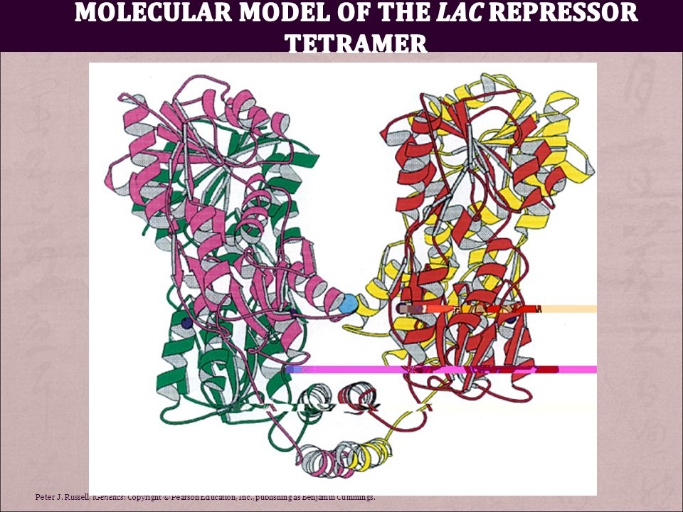 Molecular model of the lac repressor tetramer