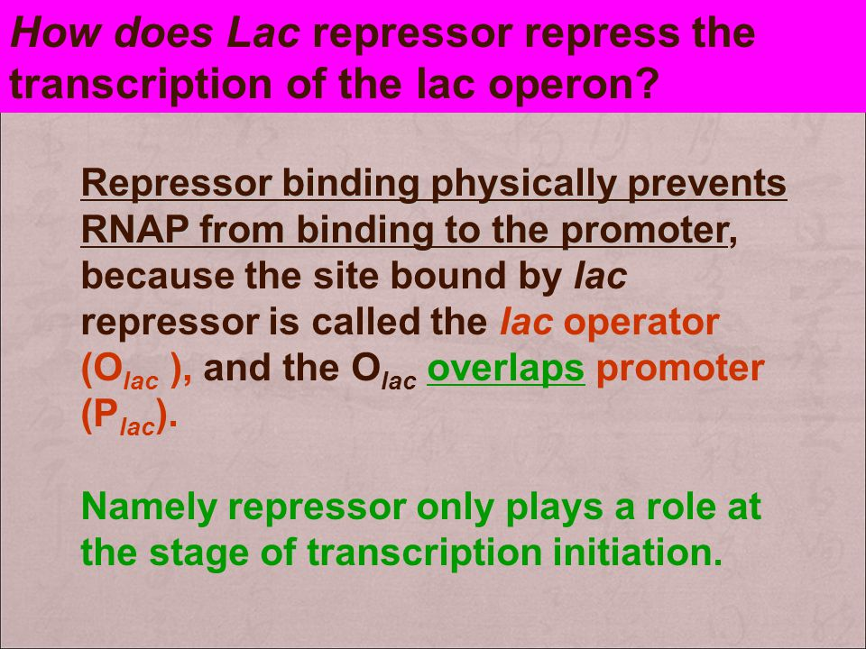 How does Lac repressor repress the transcription of the lac operon