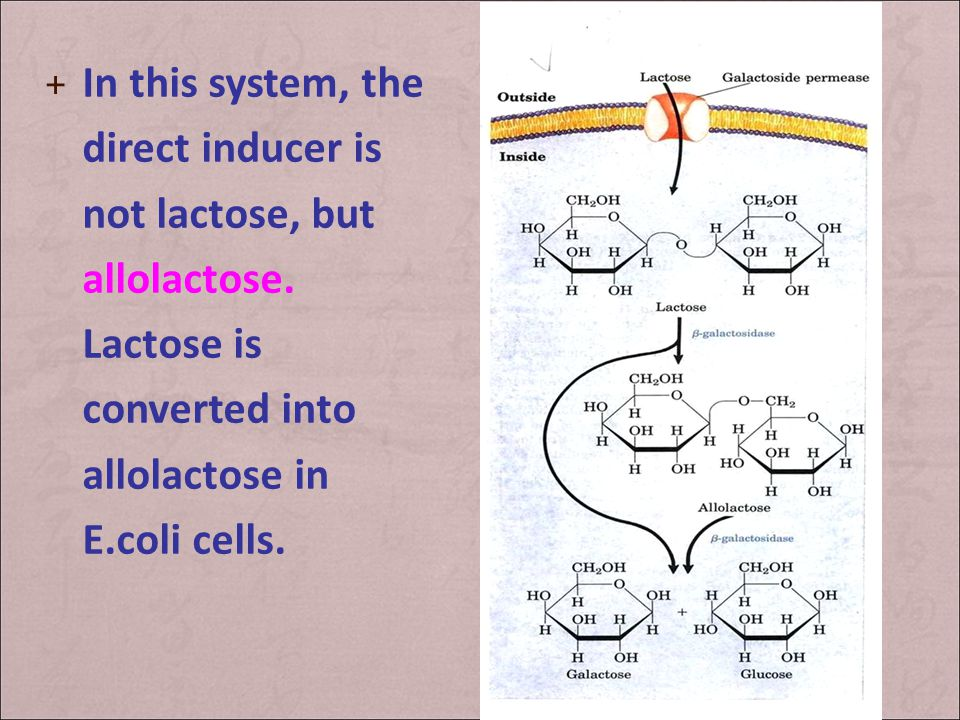 In this system, the direct inducer is not lactose, but allolactose