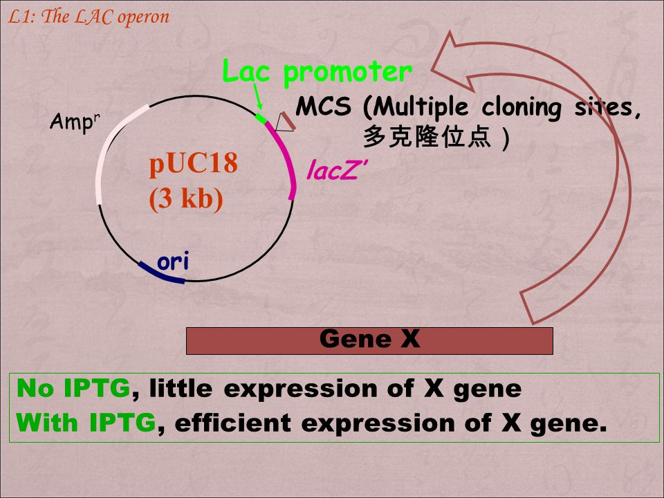 Lac promoter pUC18 (3 kb) MCS (Multiple cloning sites, 多克隆位点) lacZ'