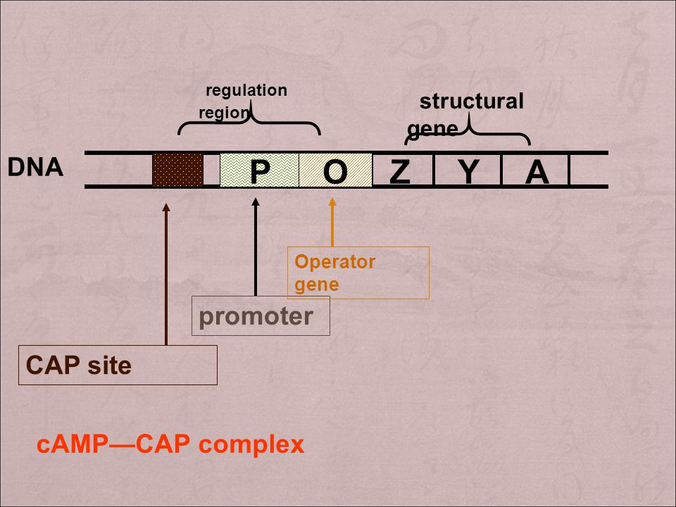 Z Y A O P regulation region DNA promoter CAP site cAMP—CAP complex