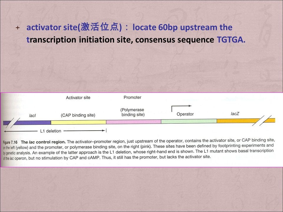 activator site(激活位点): locate 60bp upstream the transcription initiation site, consensus sequence TGTGA.