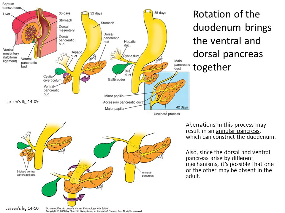 Rotation of the duodenum brings the ventral and dorsal pancreas together
