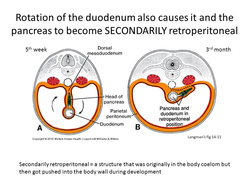Rotation of the duodenum also causes it and the pancreas to become SECONDARILY retroperitoneal
