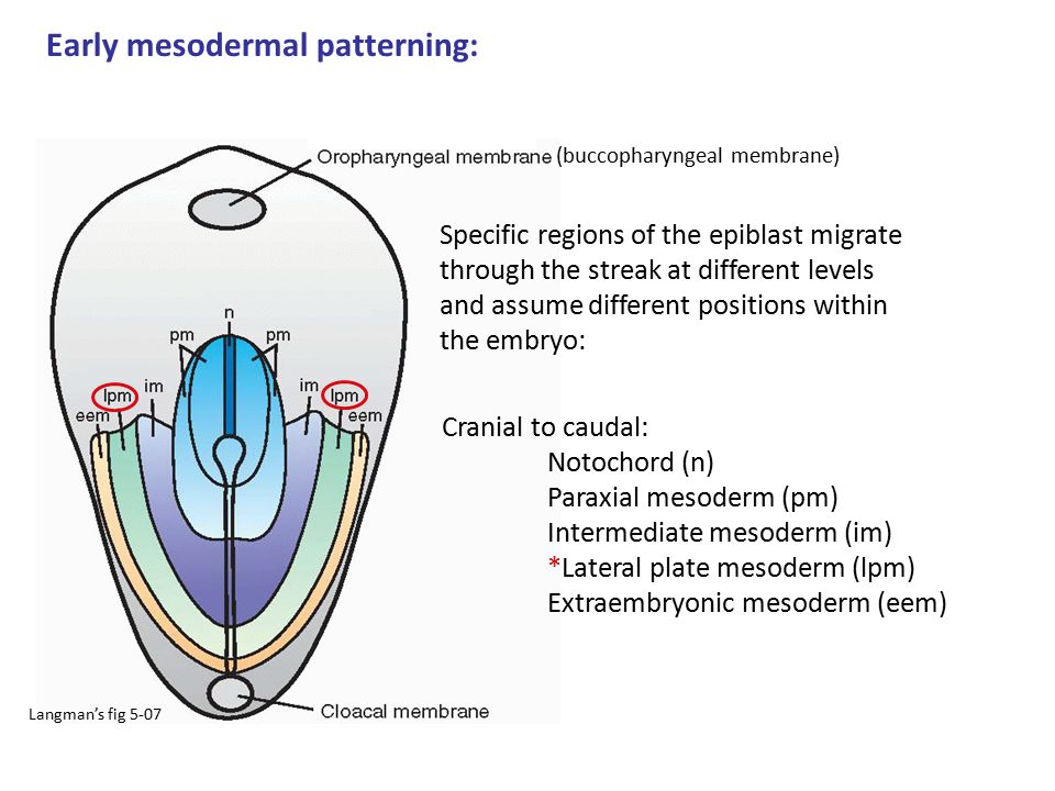 Early mesodermal patterning: