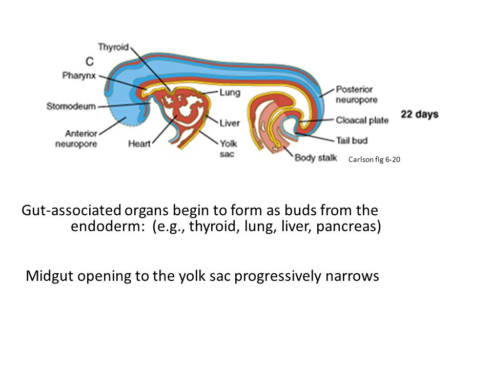 Gut-associated organs begin to form as buds from the