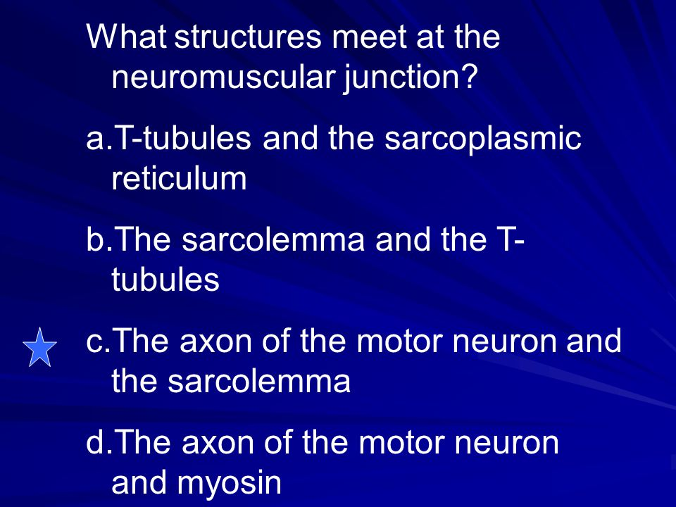 What structures meet at the neuromuscular junction