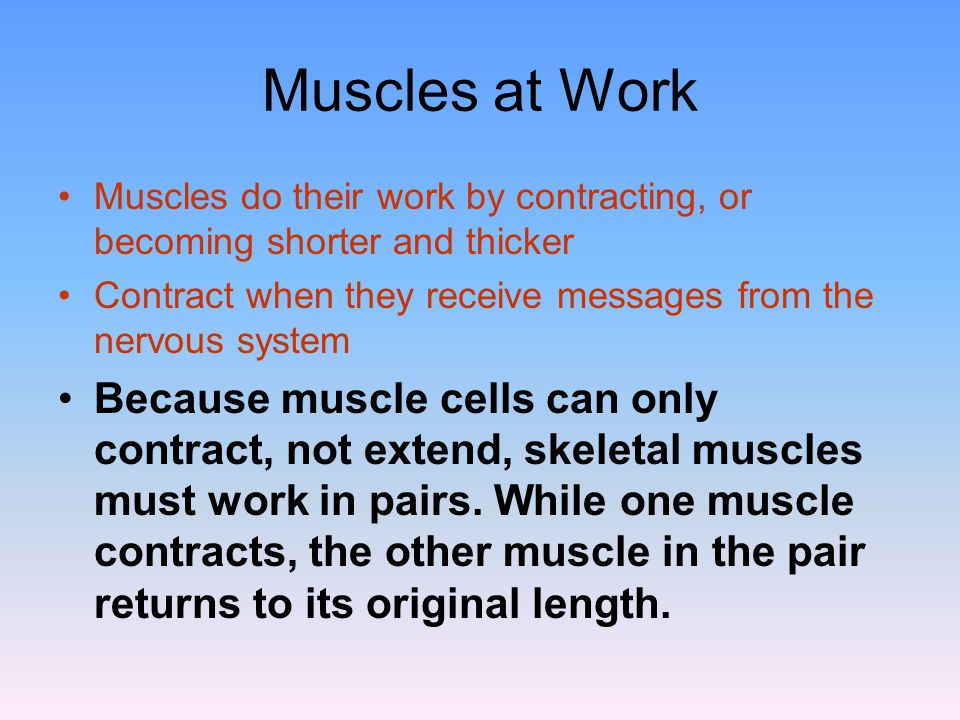 Muscles at Work Muscles do their work by contracting, or becoming shorter and thicker. Contract when they receive messages from the nervous system.