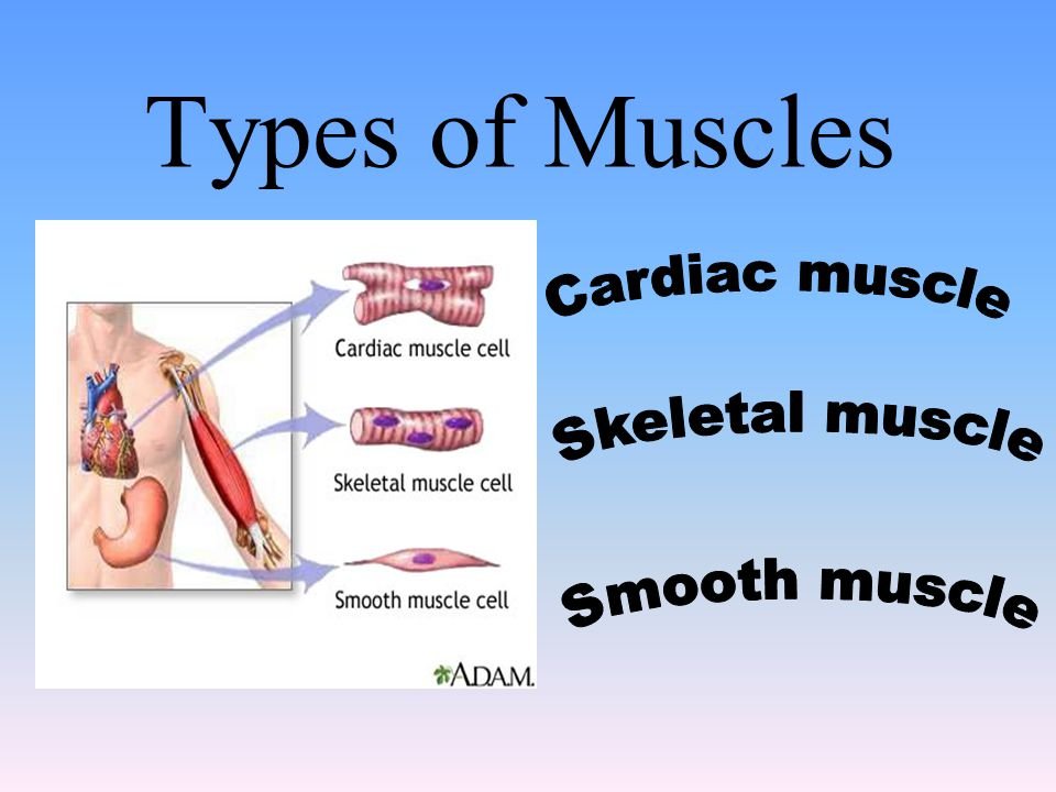 Types of Muscles Cardiac muscle Skeletal muscle Smooth muscle