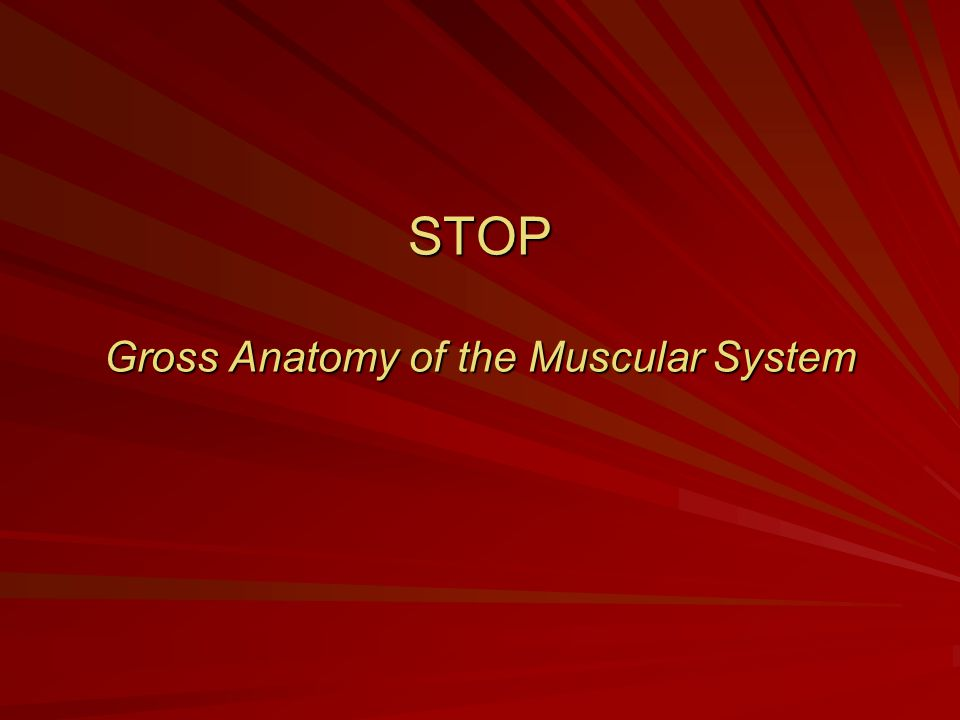 STOP Gross Anatomy of the Muscular System