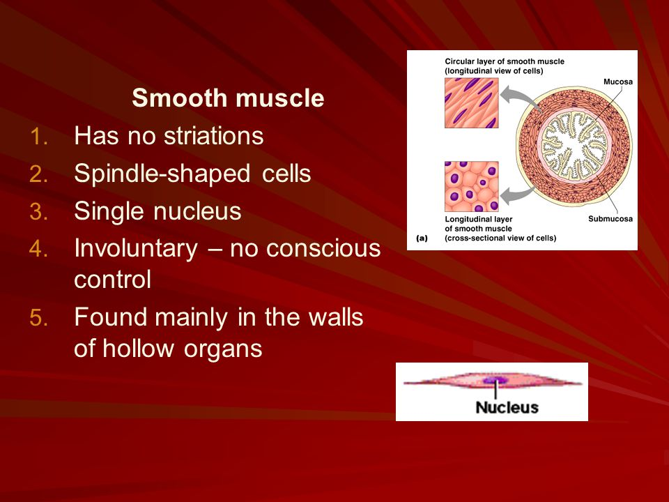 Smooth muscle Has no striations. Spindle-shaped cells. Single nucleus. Involuntary – no conscious control.