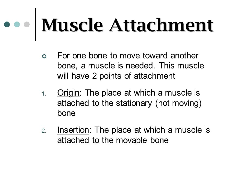 Muscle Attachment For one bone to move toward another bone, a muscle is needed. This muscle will have 2 points of attachment.