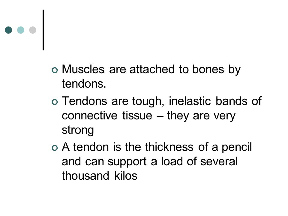 Muscles are attached to bones by tendons.