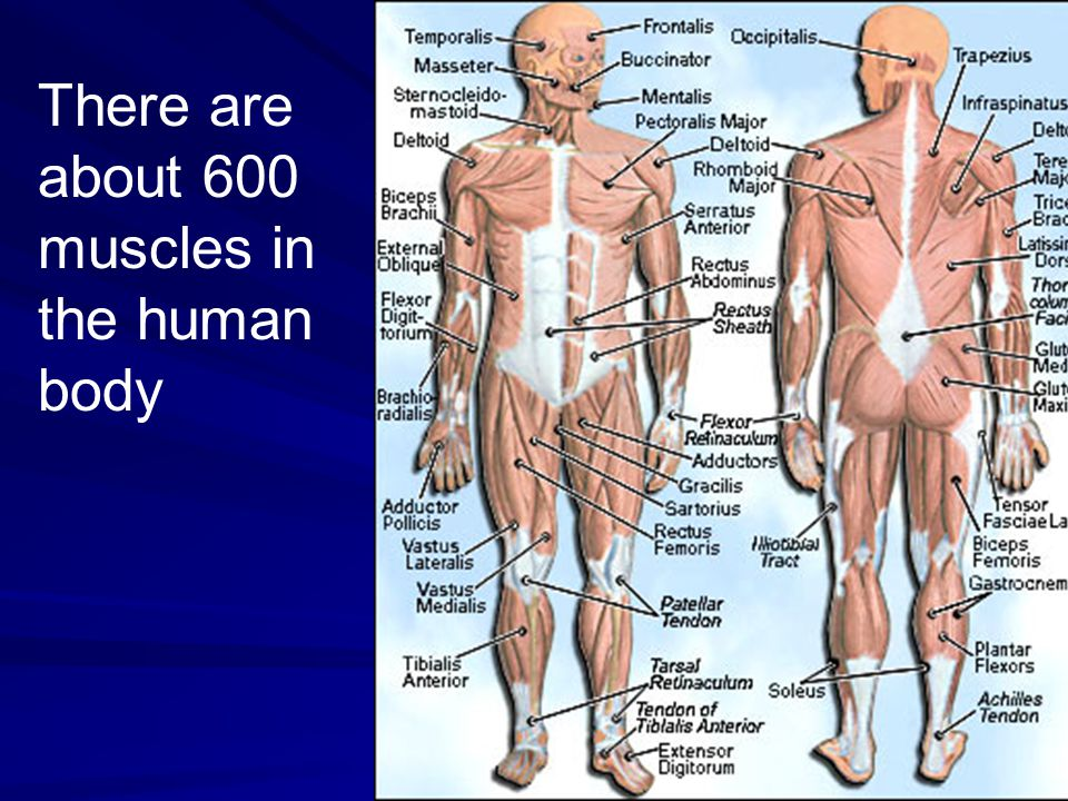 There are about 600 muscles in the human body