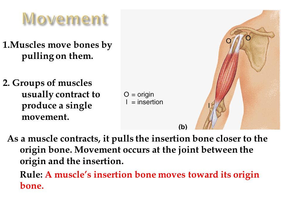 Movement 1.Muscles move bones by pulling on them.