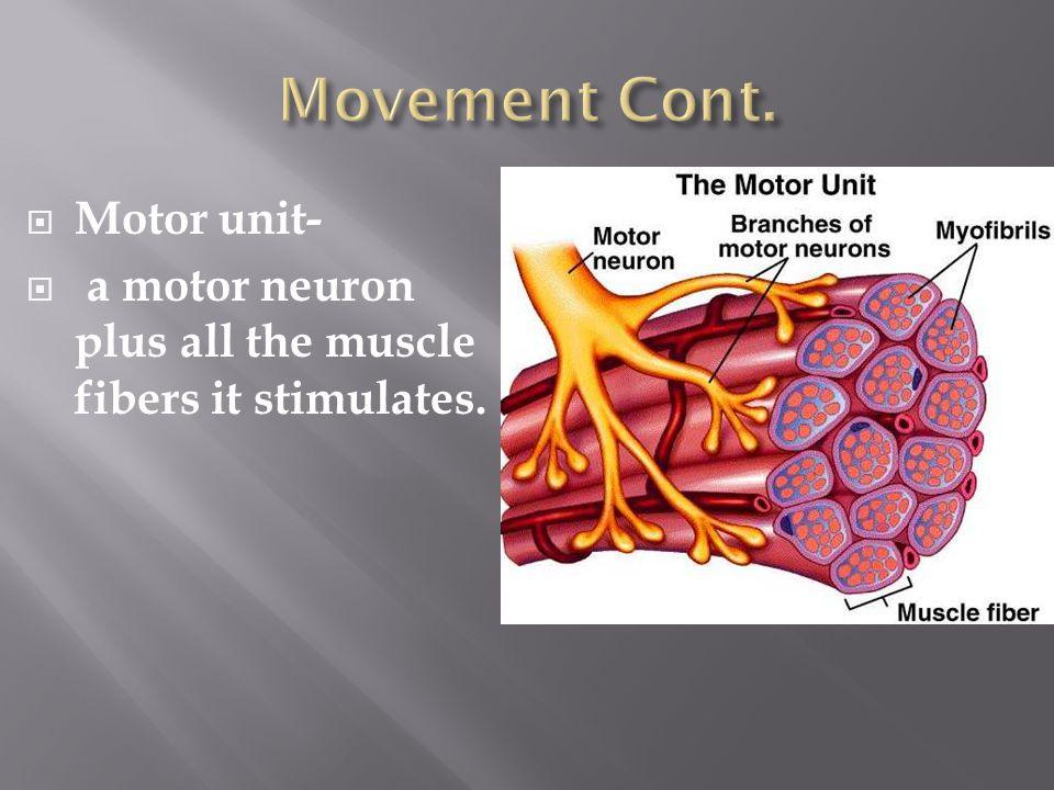 Movement Cont. Motor unit-