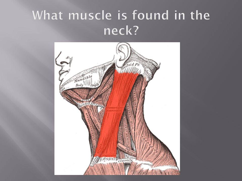 What muscle is found in the neck