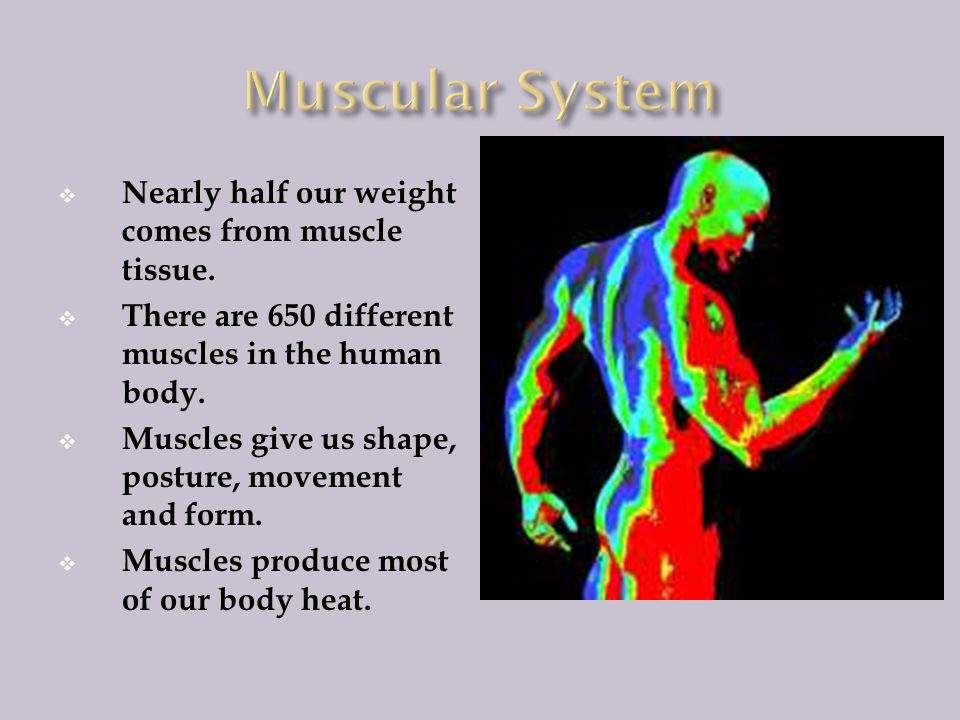 Muscular System Nearly half our weight comes from muscle tissue.