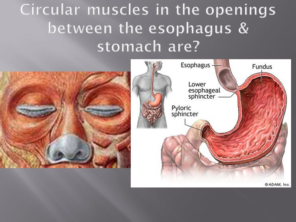 Circular muscles in the openings between the esophagus & stomach are