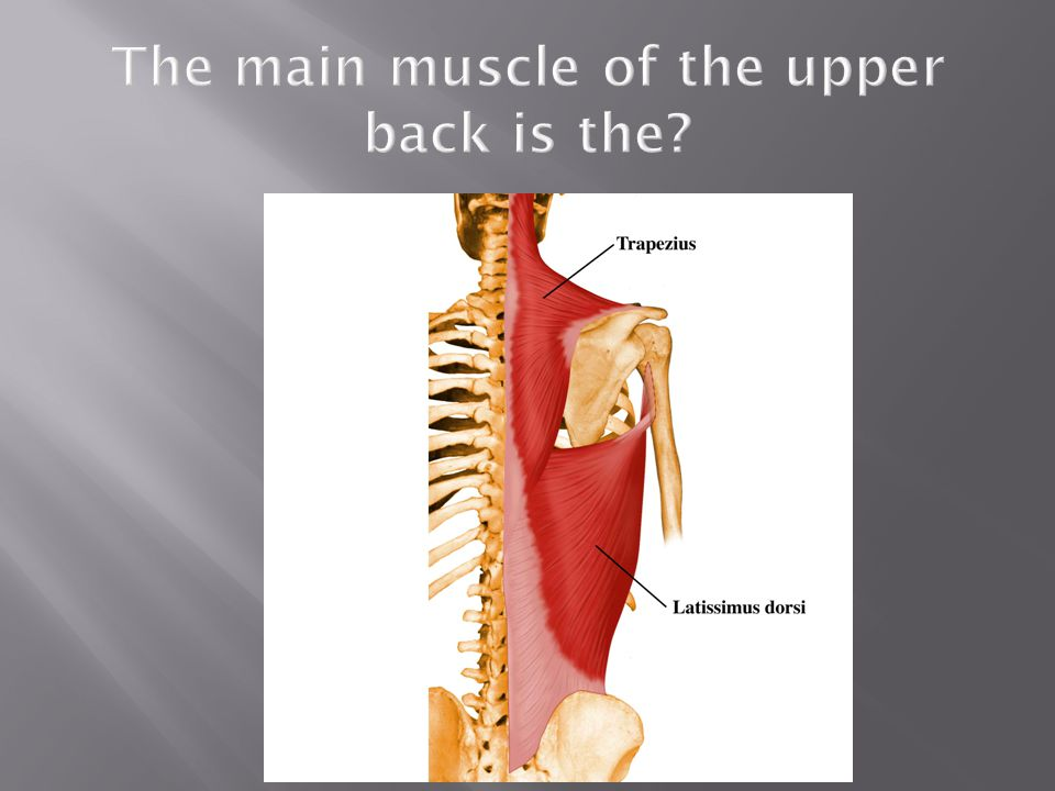 The main muscle of the upper back is the