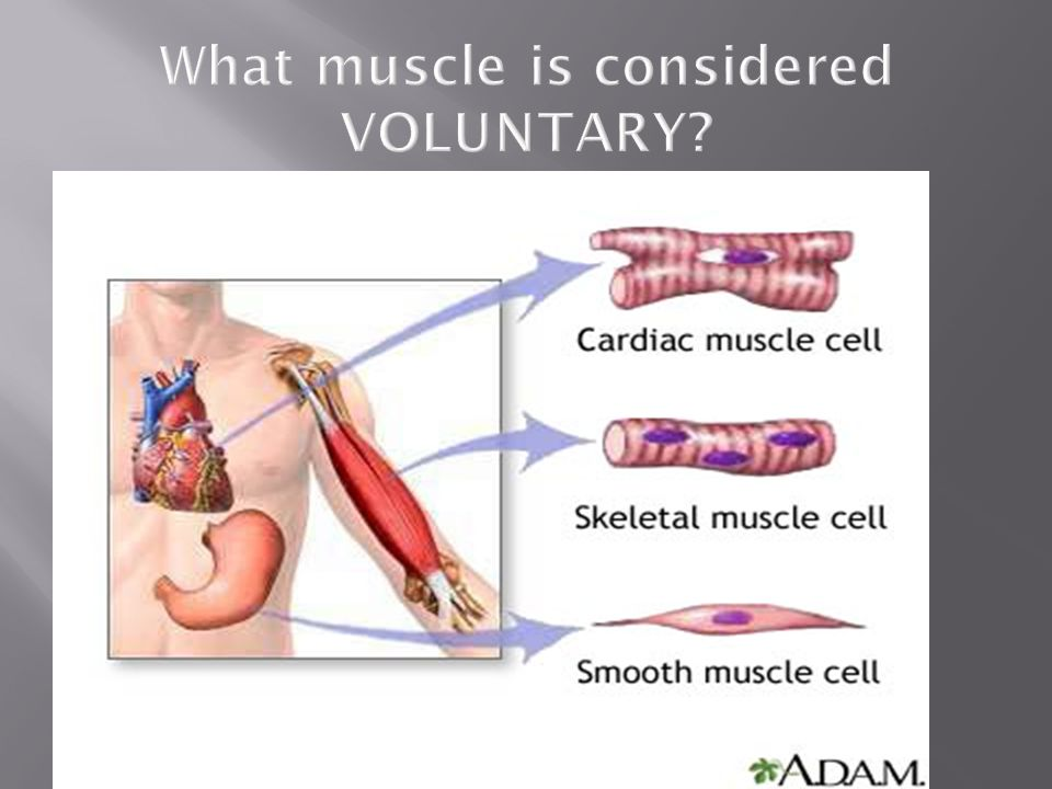 What muscle is considered VOLUNTARY