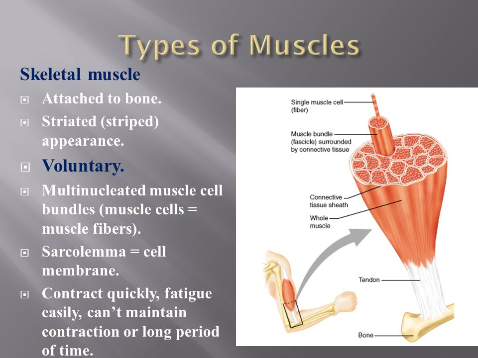 Types of Muscles Skeletal muscle Voluntary. Attached to bone.