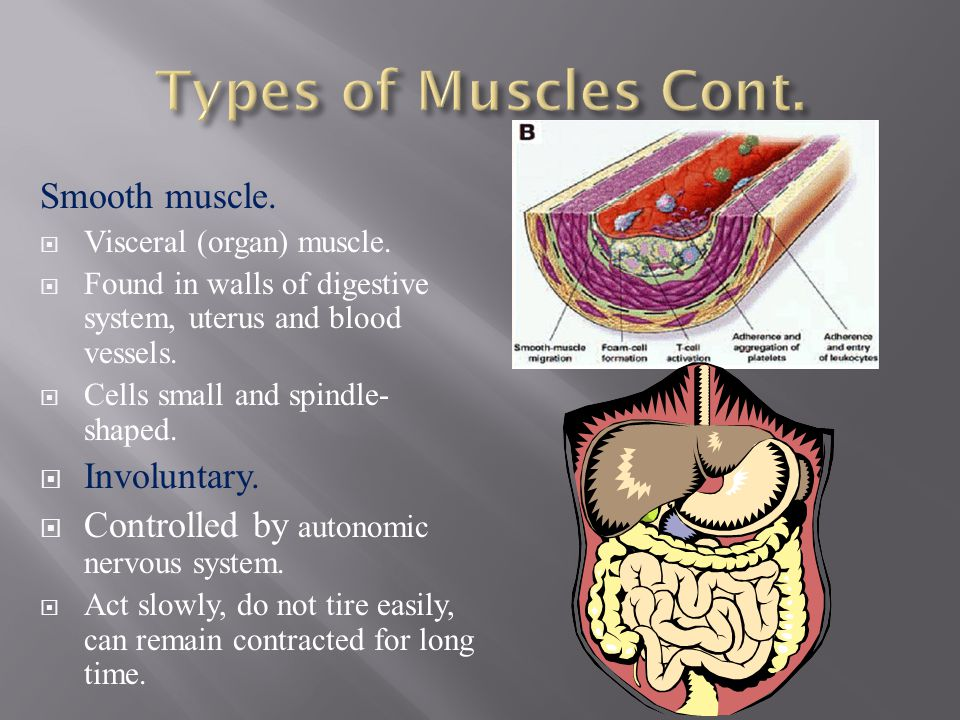 Types of Muscles Cont. Smooth muscle. Involuntary.