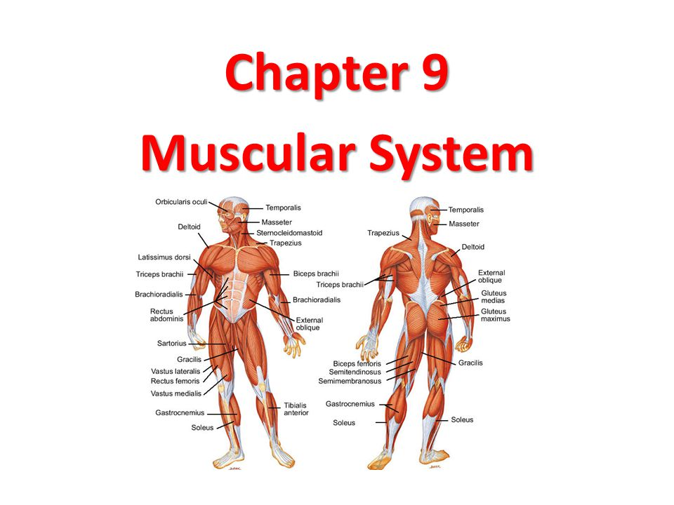 Groß Anatomy And Physiology The Muscular System Fotos - Menschliche ...