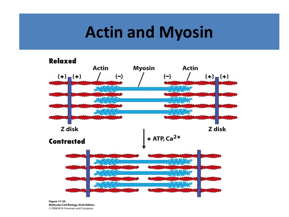 Acting and Myosin Filaments