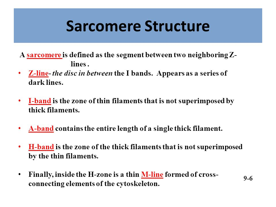 Sarcomere Structure A sarcomere is defined as the segment between two neighboring Z- lines .
