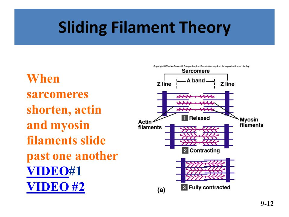 sliding filament theory The sliding filament theory is the basic summary of the process of skeletal muscle contraction myosin moves along the filament by repeating a binding and releasing sequence that causes the thick filament to move over the thinner filament this progresses in sequential stages.