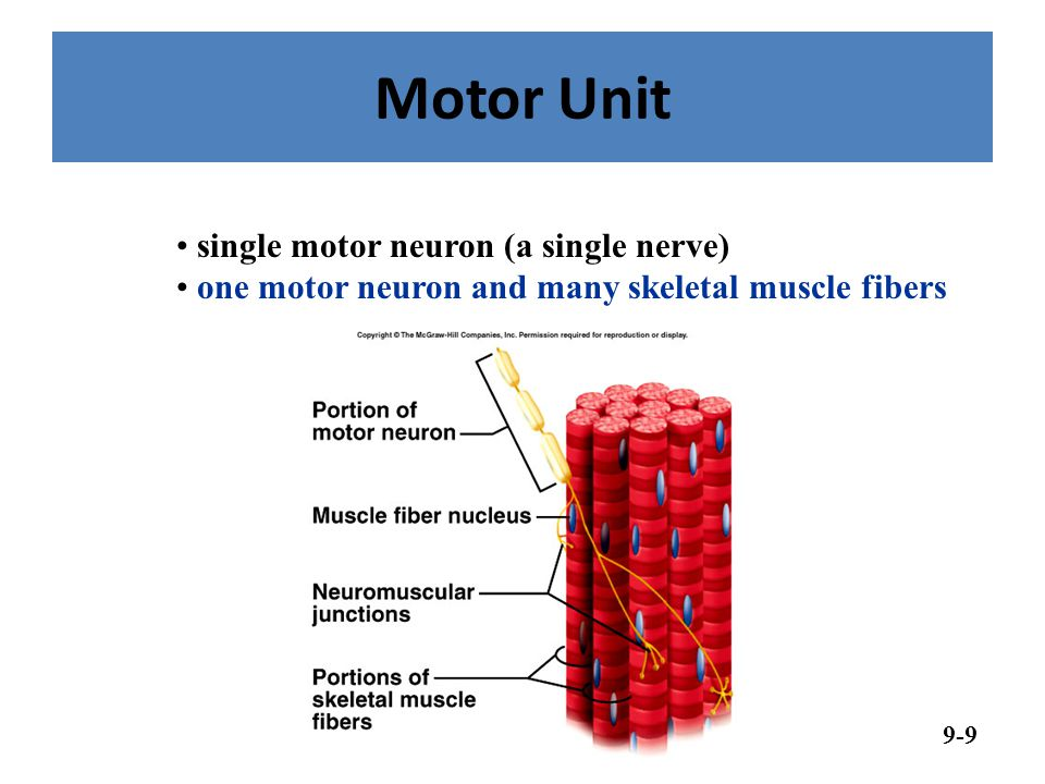Motor Unit single motor neuron (a single nerve)