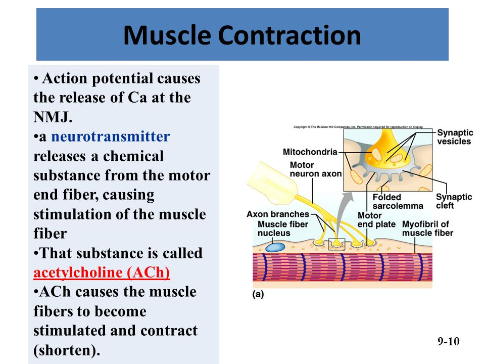 Muscle Contraction Action potential causes the release of Ca at the NMJ.