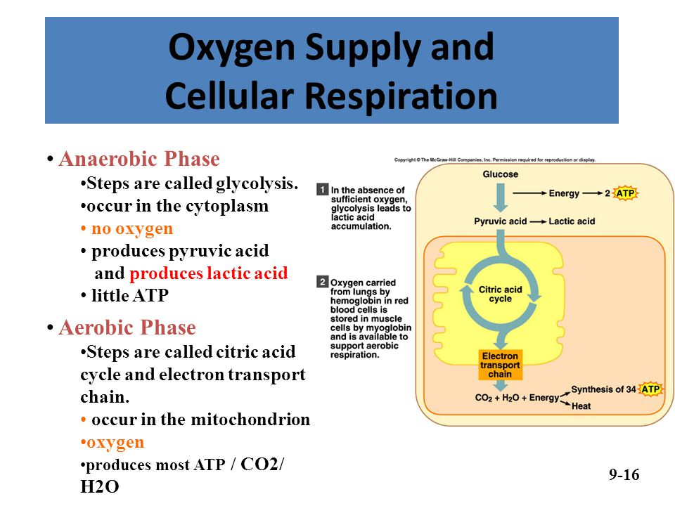 Oxygen Supply and Cellular Respiration
