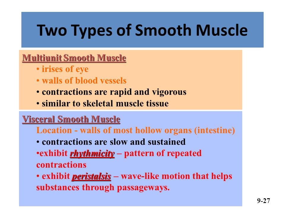 Two Types of Smooth Muscle