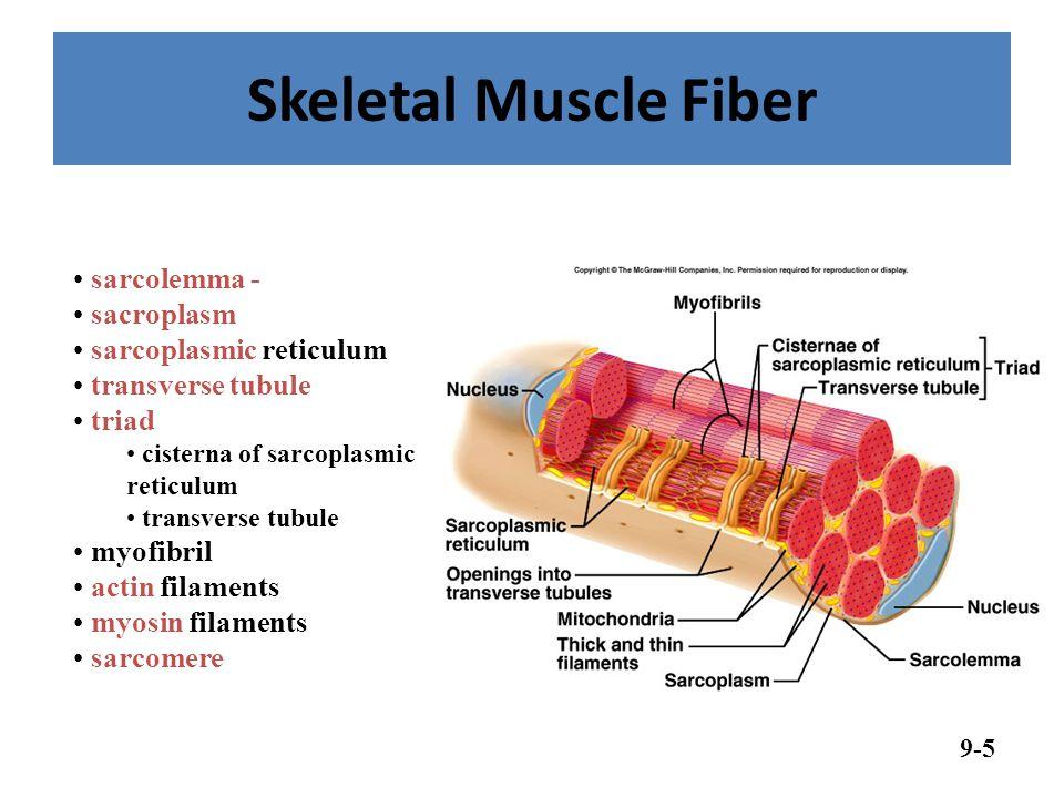 Skeletal Muscle Fiber sarcolemma - sacroplasm sarcoplasmic reticulum
