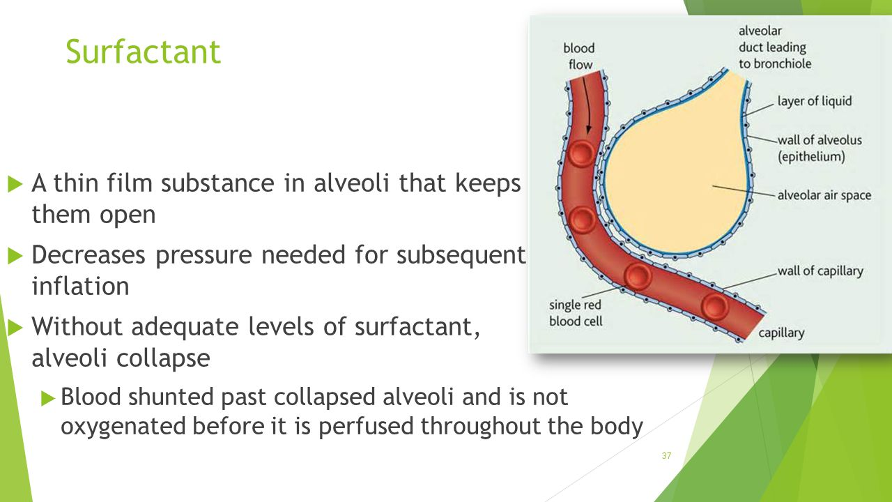 Surfactant A thin film substance in alveoli that keeps them open