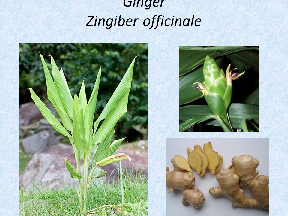Ginger Zingiber officinale