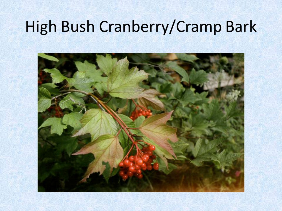 High Bush Cranberry/Cramp Bark