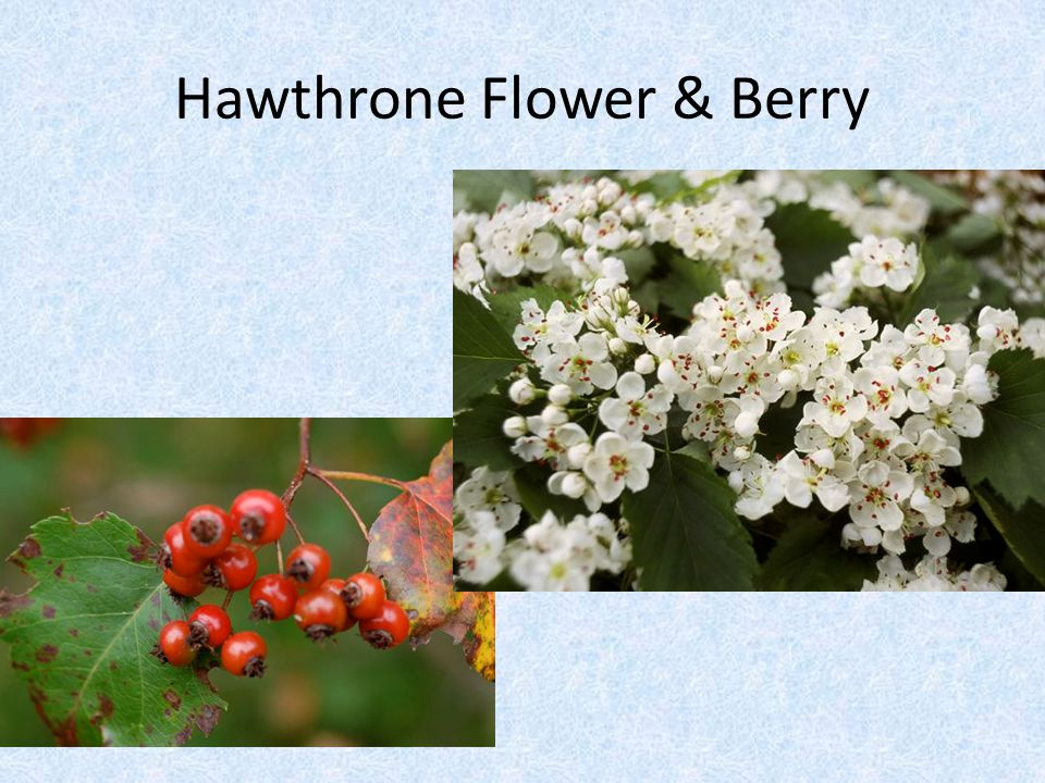Hawthrone Flower & Berry