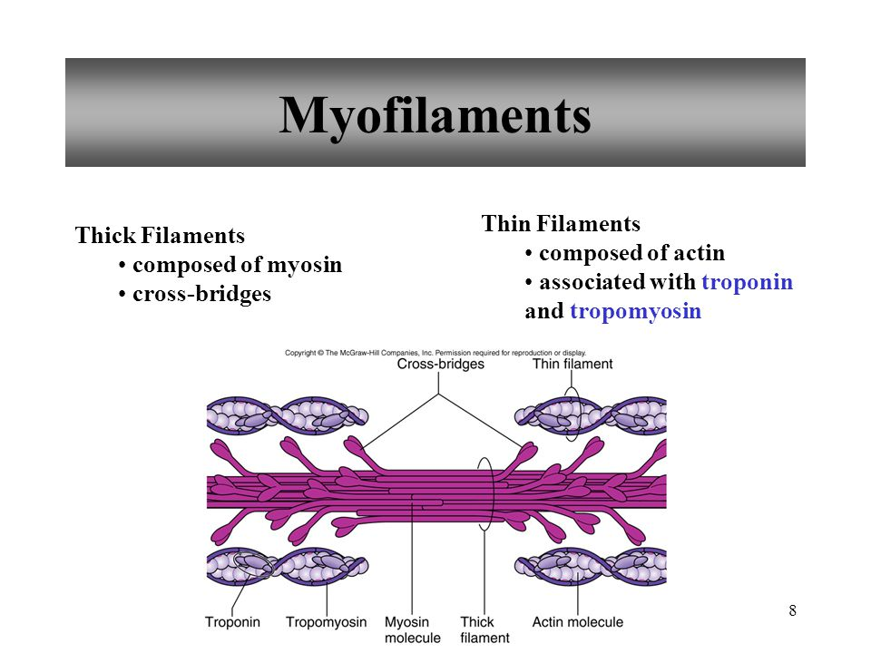 Myofilaments Thin Filaments Thick Filaments composed of actin